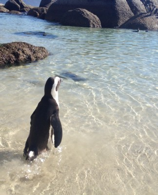 Boulders Beach penguin in water