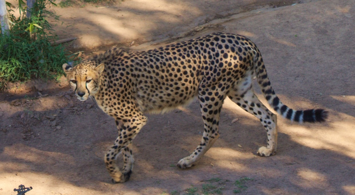 Cheetah walking, Cango Wildlife Ranch