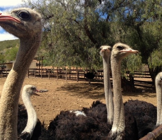 Group of ostriches