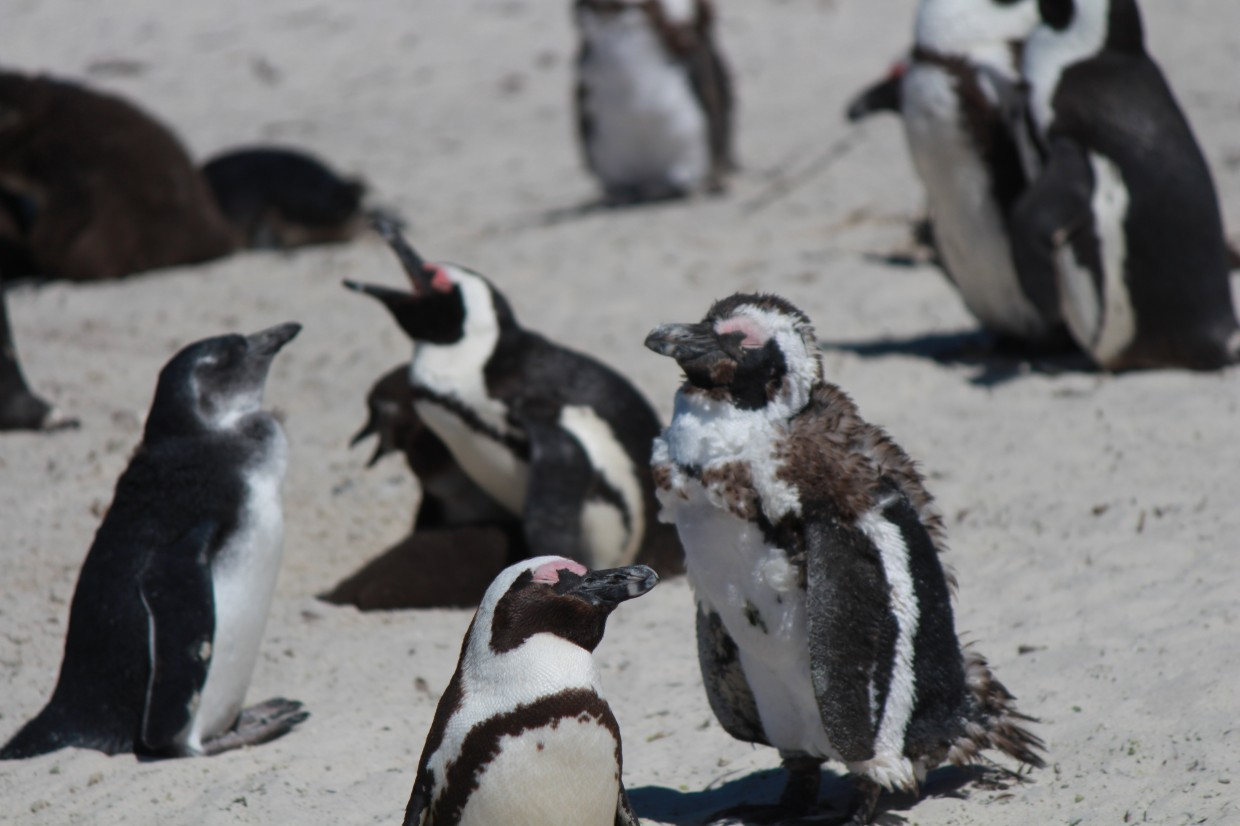 Group of penguins at Boulders Beach