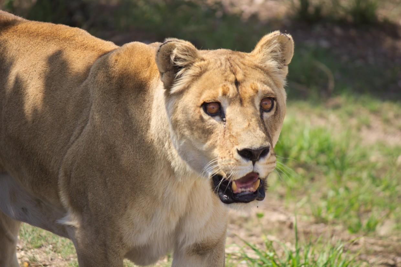 Lioness at Shamwari