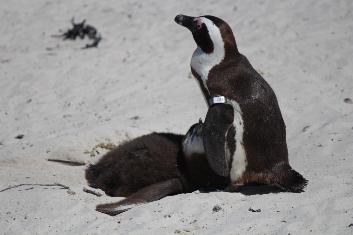 Penguin chick at Boulders