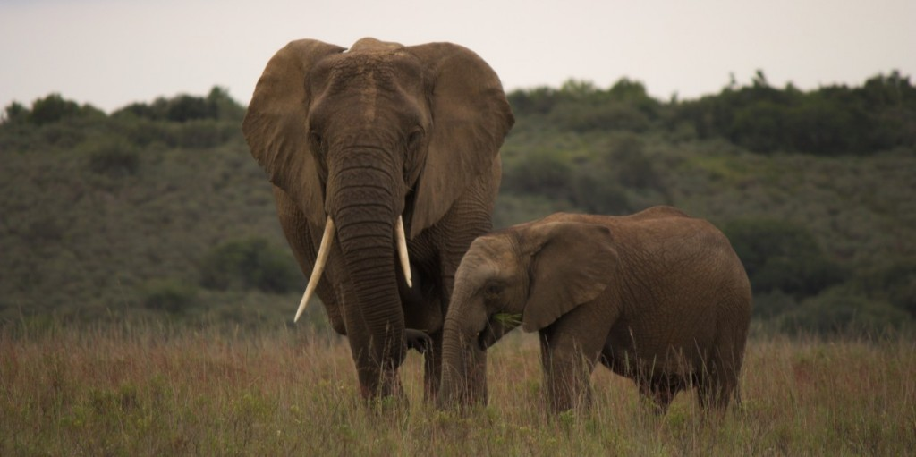 Reason to visit South Africa: Elephants
