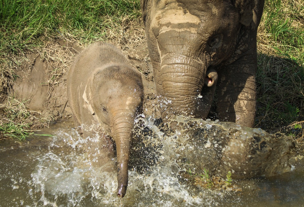 photo essay elephants at the elephant nature park non stop baby elephant splashing in water