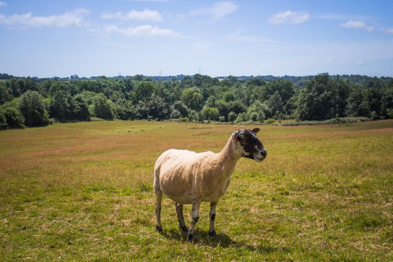 Sheep in Battle