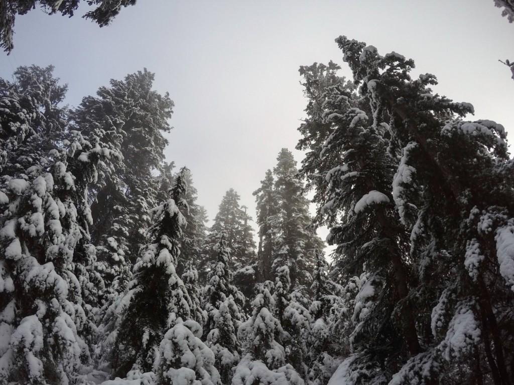 Trees, Grouse Mountain, Canada