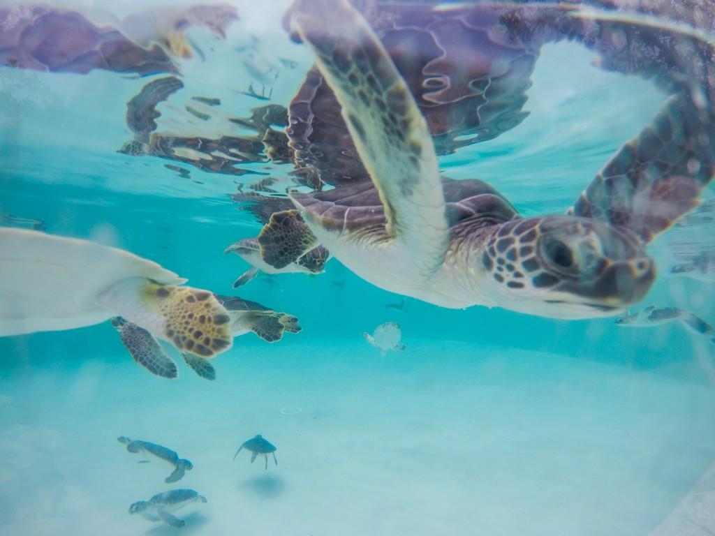 Xcaret turtles