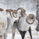 Tinhorn Sheep at Yukon Wildlife Preserve