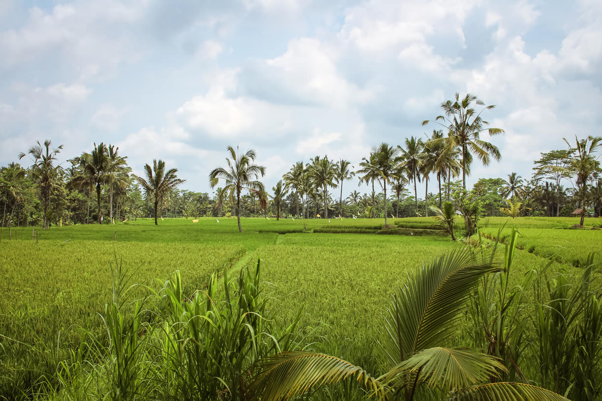 Rice fields Ubud