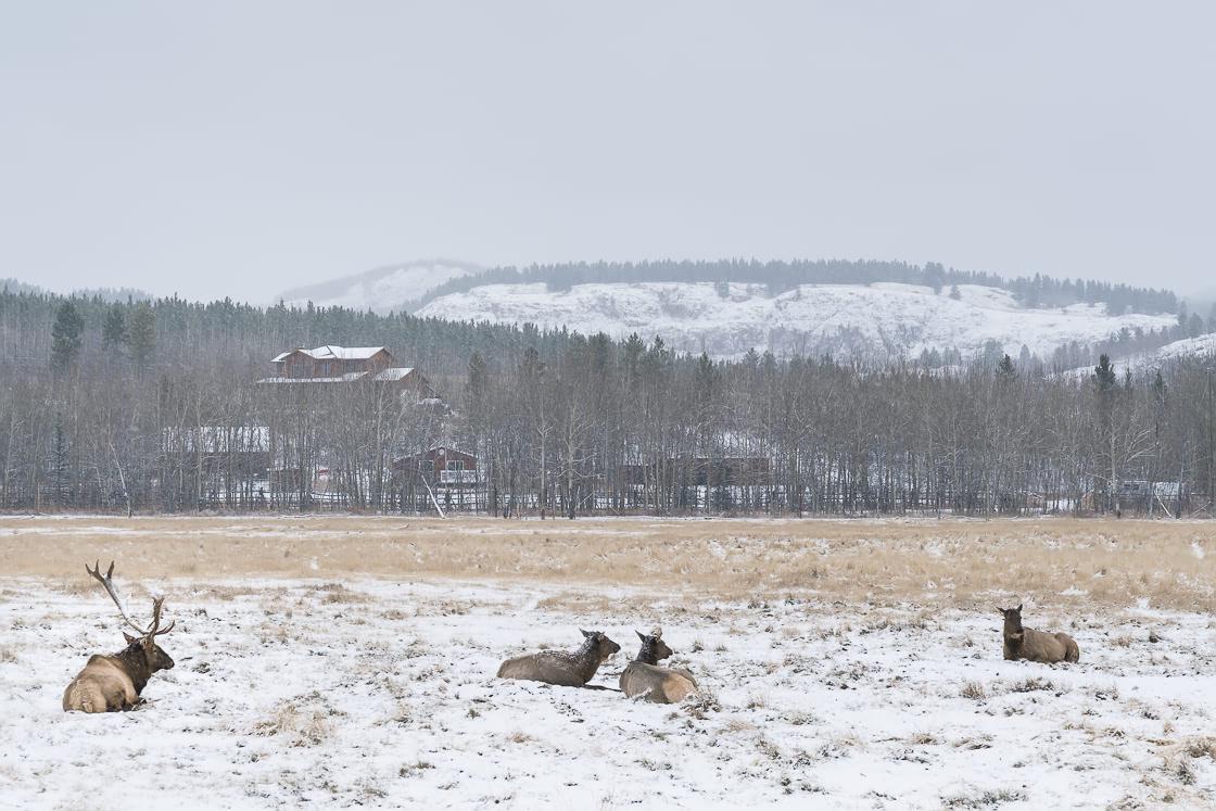 Elk at the Yukon Wildlife Preserve