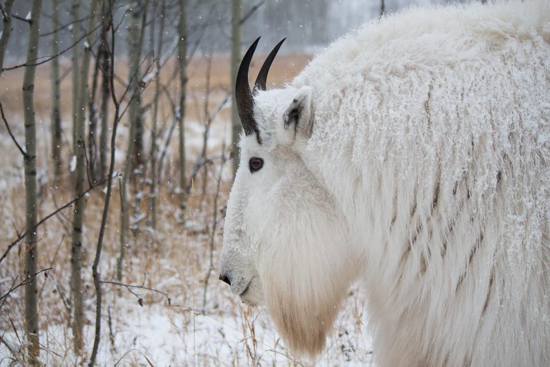 Grumpy mountain goat