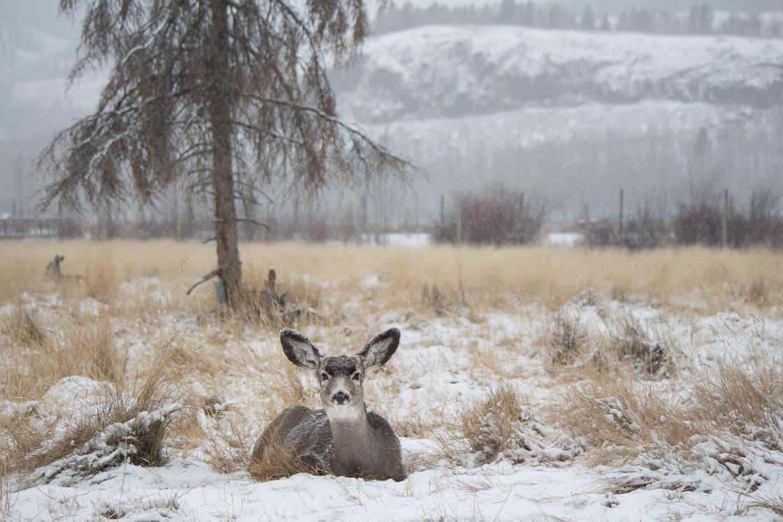 Mule Deer relaxing in the snow