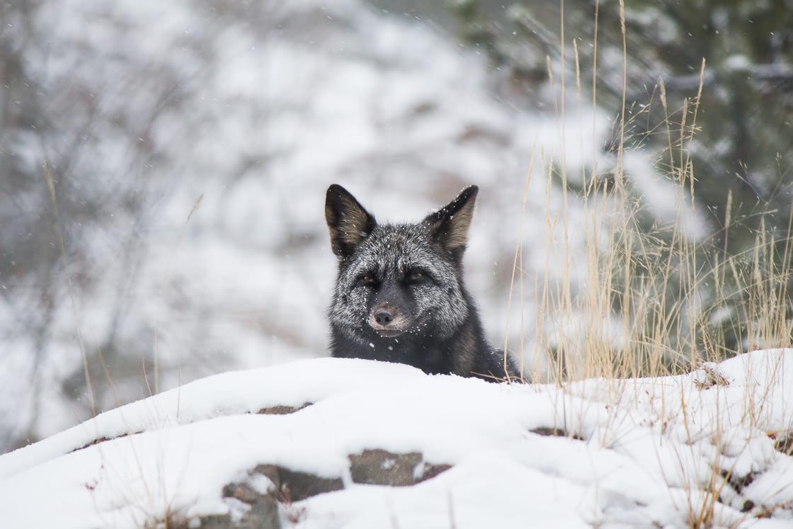 Silver fox at the Yukon Wildllife Preserve