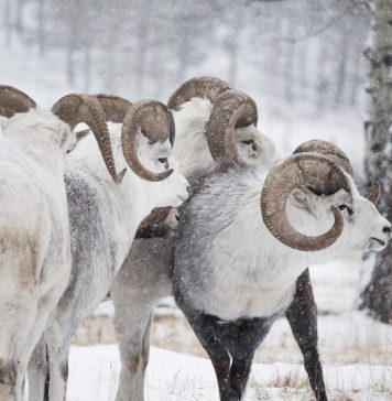 Thinhorn Sheep checking out the opposition