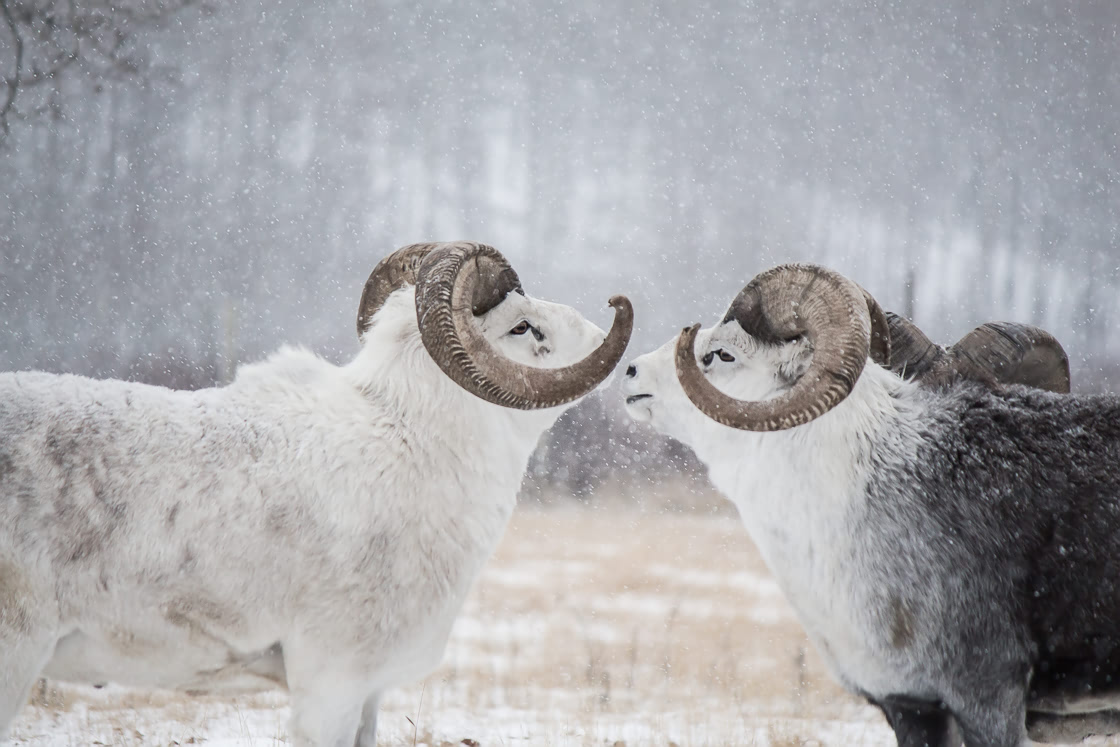 Thinhorn Sheep preparing to fight