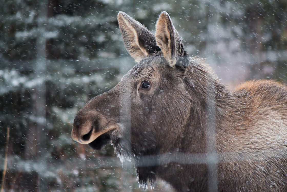 Young Moose at the Yukon Wildllife Preserve