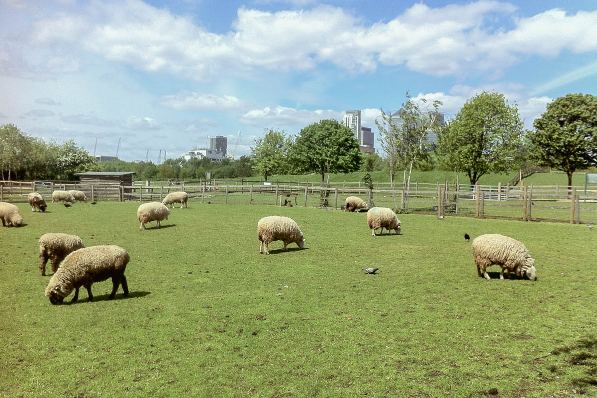Mudchute sheep unusual places to visit in London