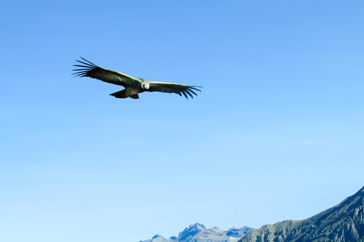 Condor Colca Canyon Tour Peru