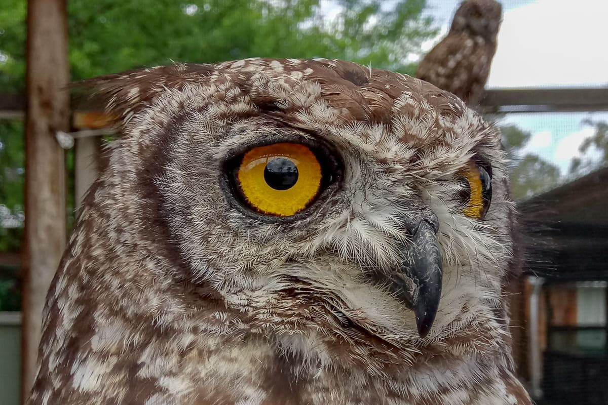 owl at Spier