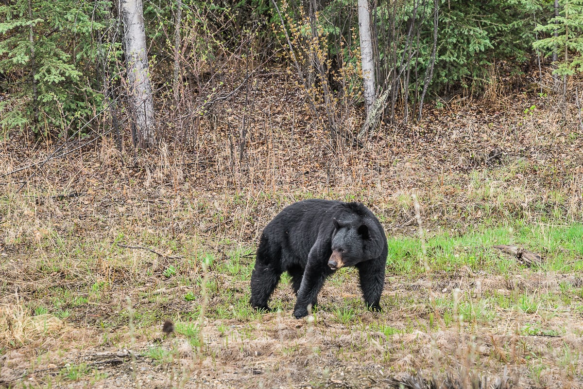 Black Bear Canada Yukon